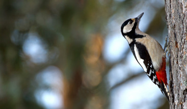 How to End Woodpecker Damage with James Hardie Siding